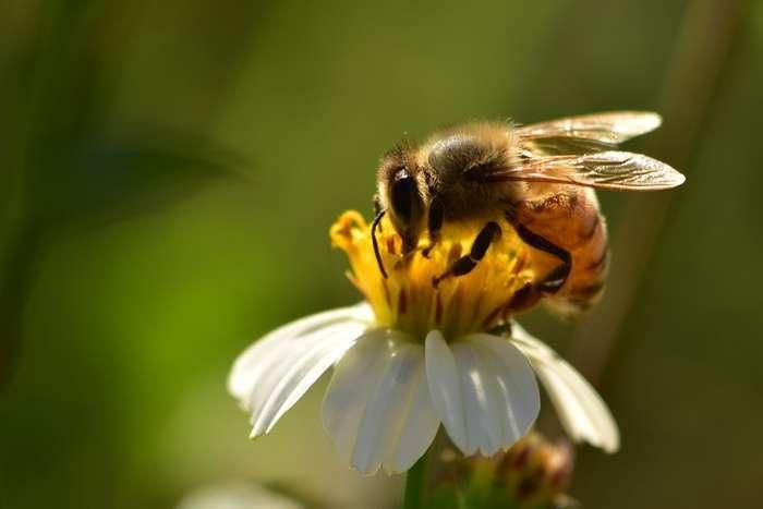Honingbij in actie