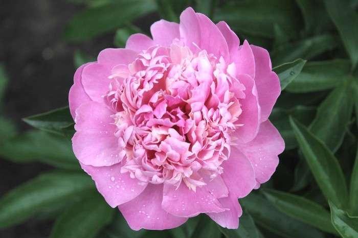 Pioenroos roze