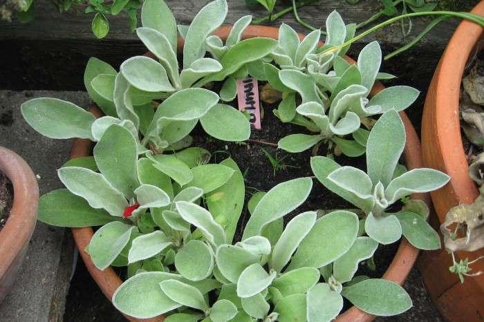Prikneus, 1e jaars plantje