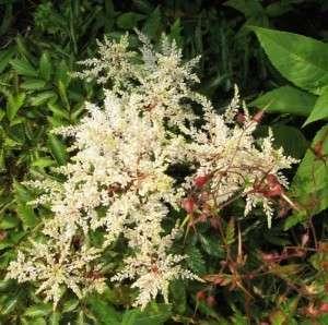 Astilbe, pluimspirea of prachtspirea (7)