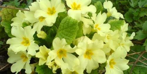 Primula Vulgaris, kleurrijk en vrolijk