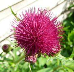 Thumbs cirsium-distel