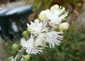 Zilverkaars Actaea simplex thumbs