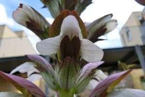 acanthus (5)