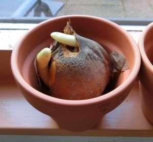 colchicum harlekijkn in pot 1