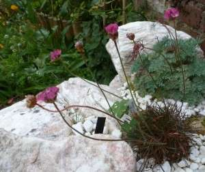 engels gras armeria rubra (3)