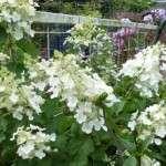 Hortensia paniculata snoeien pluimhortensia