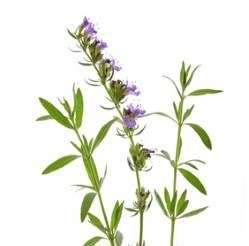 hyssop thumbs