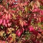 kardinaalsmuts herfstkleuren pixabay