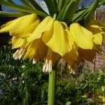 keizerskroon-fritillaria-imperialis (9)