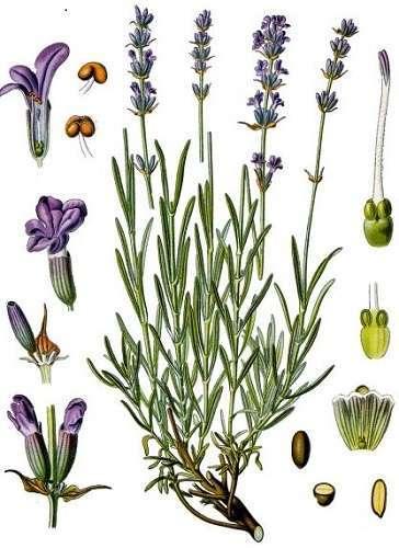 lavendel angustofolia 2