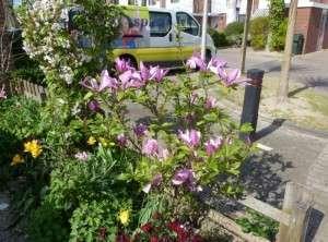 tweede bloei magnolia