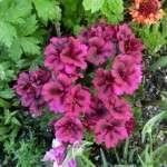pelargonium-geranium (12)