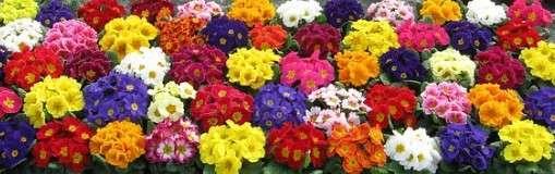 Primula Acaulus, kleurrijke voorjaarsbode