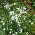 sneeuwbalplant achillea ptarmica 3