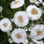 sneeuwbalplantje wilde bertram (4)