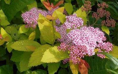 spierstruik of spirea japonica