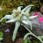 thumb edelweiss (3)