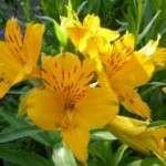 thumbs inca-lelie-astroemeria-aurea