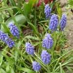 blauwe druifjes muscari