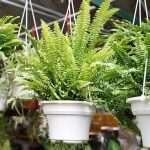 kamerplanten, varens