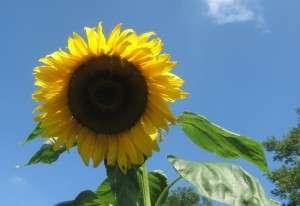 zonnebloem helianthus