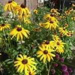 zonnehoed of rudbeckia (1)