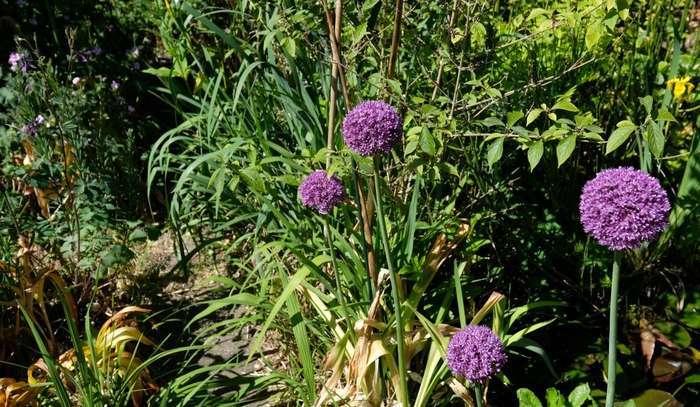 Uienbol of Allium in de border
