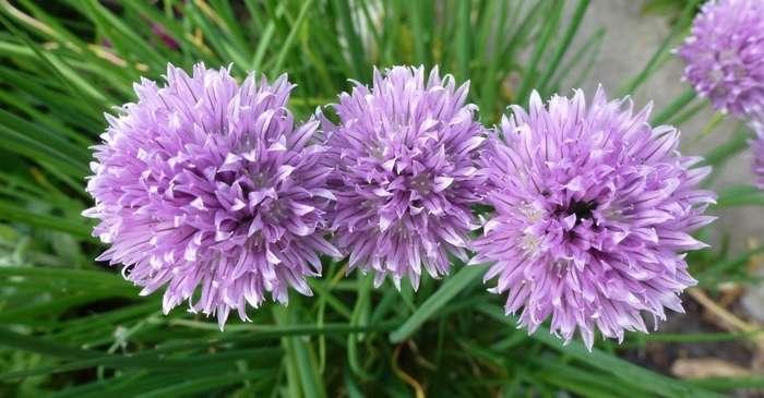 Bieslook, Allium