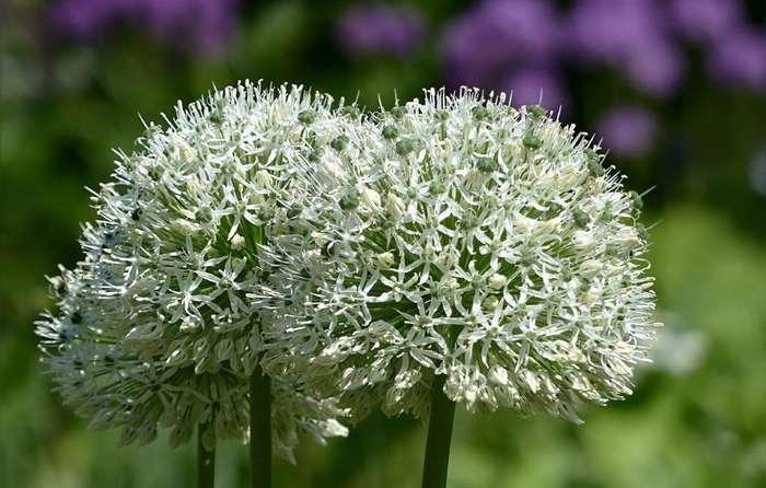 Uienbol of Allium