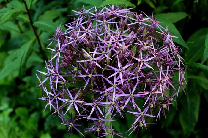 Uienbol of Allium