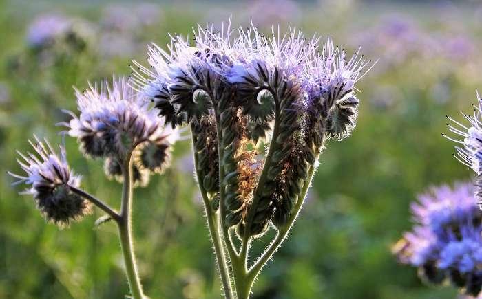 Bijenvoer of Phacelia
