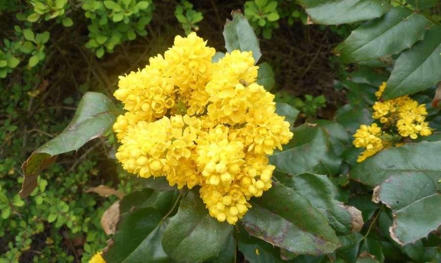 Mahonia of Gele hulst, heggestruik